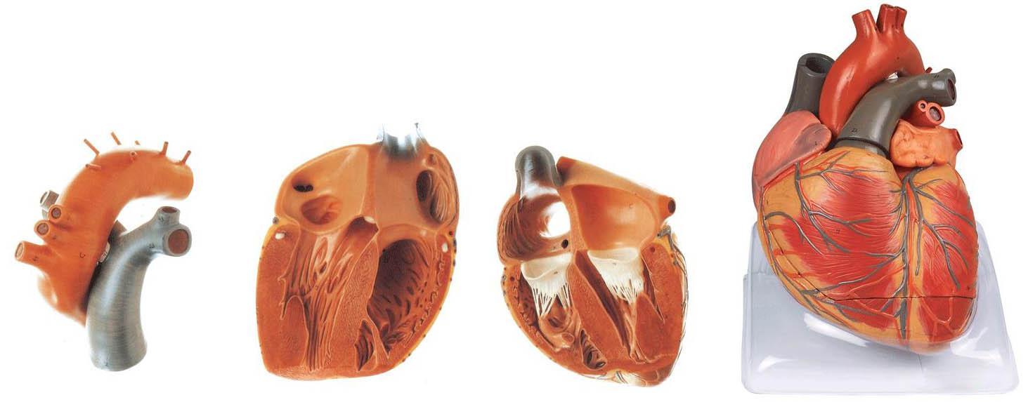 心脏解剖放大模型A16006,心脏模型-上海佳悦公司:021-63283651 中国领先的医学教学模型设备制造厂家