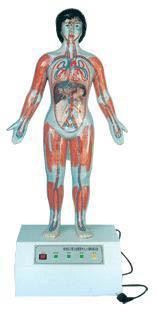 微电脑人体心动周期与大、小循环演示仪-上海佳悦公司:021-63283651中国领先的医学教学模型设备制造厂家
