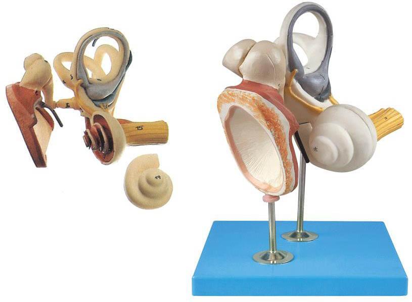 内耳、听小骨及鼓膜放大模型是我公司自行研发生产热销的医学教学模型,欢迎各医院单位订购021-63283651