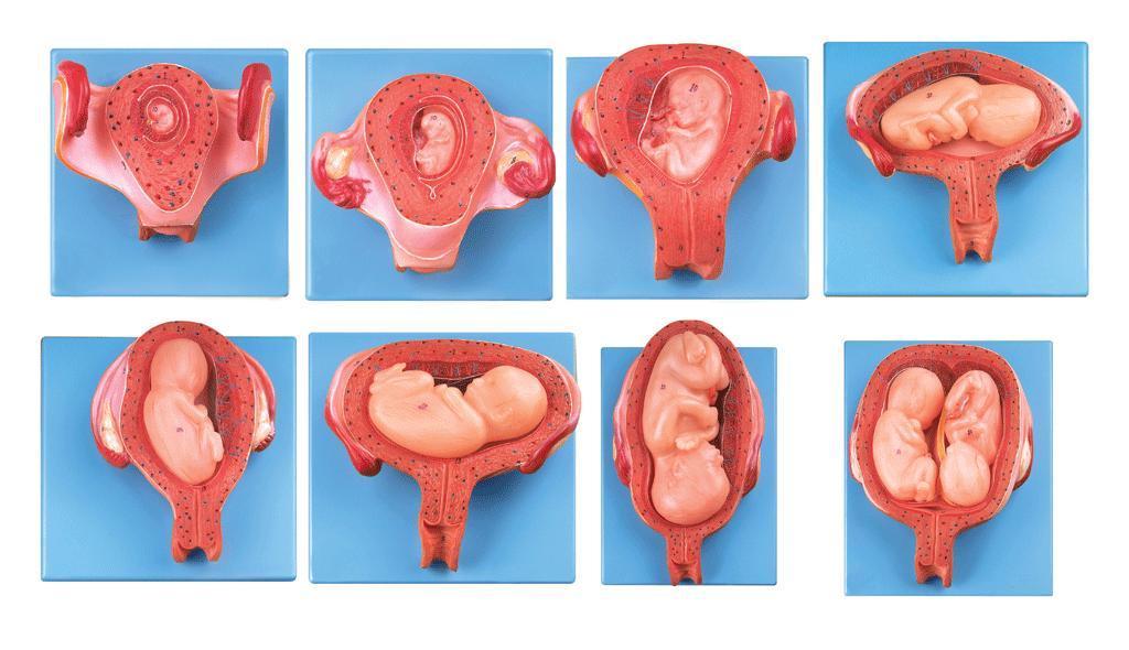 妊娠胚胎发育过程模型A42005-上海佳悦公司:021-63283651 中国领先的医学教学模型设备制造厂家