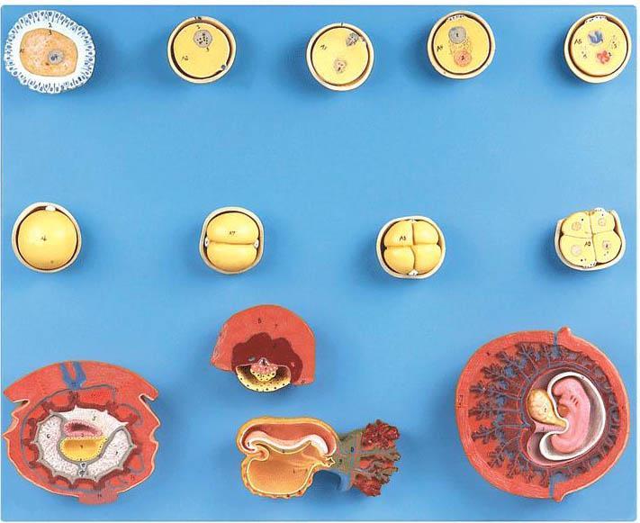 受精与初期胚胎发育过程模型A42003-上海佳悦公司:021-63283651 中国领先的医学教学模型设备制造厂家