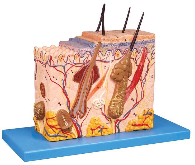 皮肤组织结构放大模型a41002
