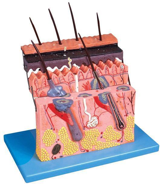 皮肤层次切面放大模型A41001-上海佳悦公司:021-63283651 中国领先的医学教学模型设备制造厂家