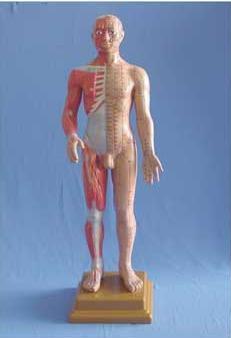 解剖针灸模型60cm