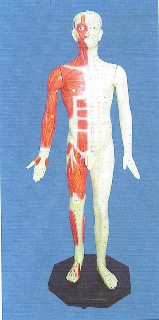 学针灸用什么样的人体模型