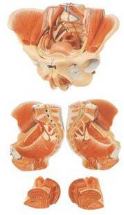 女性骨盆附生殖器官与血管神经模型A15107,女性骨盆附生殖器官,找上海佳悦,专业医学模型生产厂家