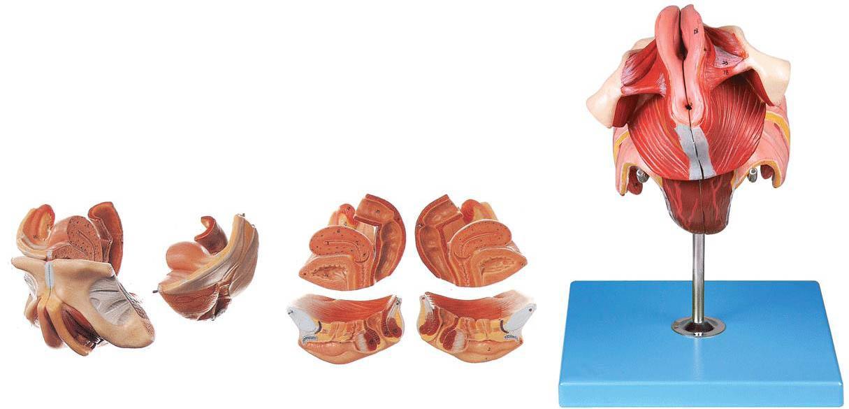 产品介绍: 结构特点:  该模型由女性生殖器官正中矢状切面、盆部器官和女性会阴等4个部件组成,并显示女性内、外生殖器官、盆腔脏器以及女性会阴等结构,共有40个部位指示标志。  尺寸:自然大,高12cm,宽14cm,深15cm  材质:进口PVC材料、进口油漆、电脑配色、高级彩绘 ----------------------------------------------------------------------------- 友情提示: 您只要致电021-63283651 我们可以为您推荐符合您要