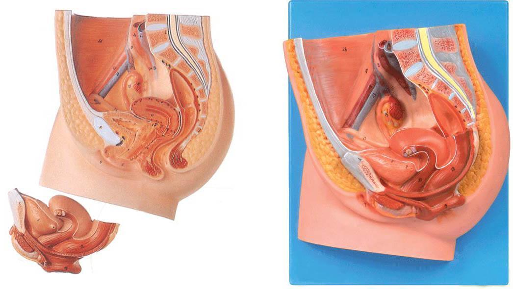 产品介绍: 结构特点:  该模型为女性盆腔正中矢状切面,由两个部件组成,并显示女性生殖器官以及膀胱和直肠等结构,共有27个部位指示标志。  尺寸:自然大,高25cm,宽9.5cm,深24.5cm  材质:进口PVC材料、进口油漆、电脑配色、高级彩绘 ----------------------------------------------------------------------------- 友情提示: 您只要致电021-63283651 我们可以为您推荐符合您要求的女性盆腔正中矢状切面模型A