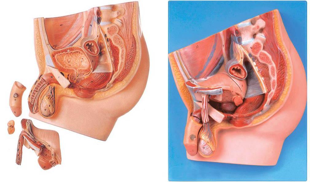 男性盆腔正中矢状切面模型A15101,男性盆腔-找上海佳悦,专业医学模型生产厂家
